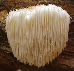Fantastic Fungi Lion's Mane Mushroom
