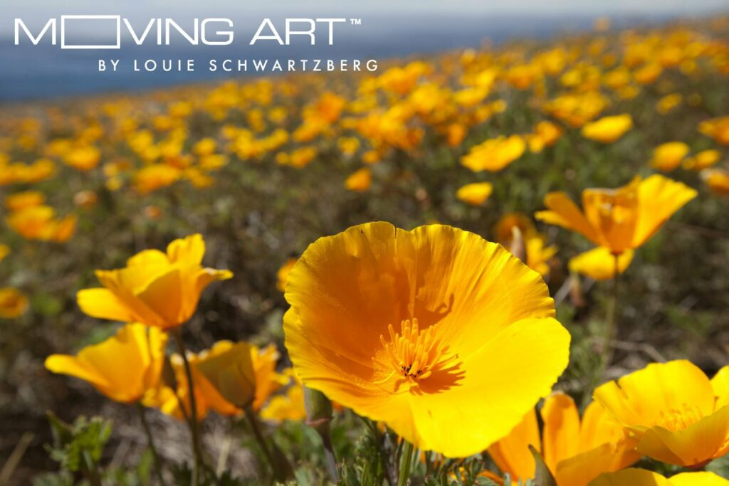 california-golden-poppy-1-of-11