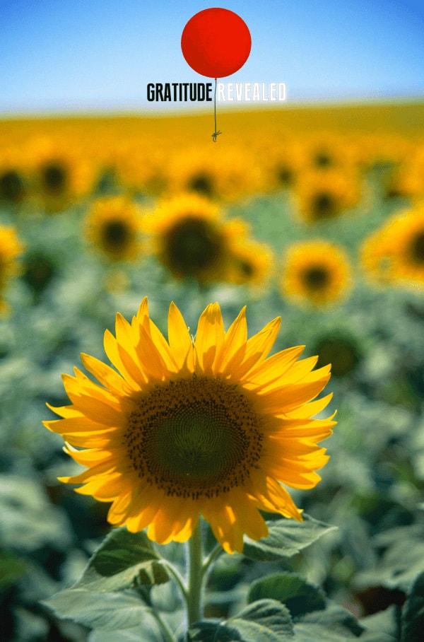 Gratitude Revealed sunflower poster