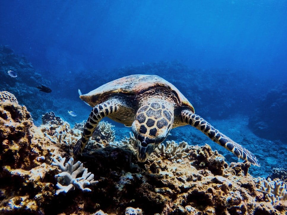 Endangered Species Day is for pandas, orcas, tigers, snow leopards, blue whales, sea otters, sea turtles, gorillas & others on the endangered species list. Sea turtle swimming above coral.