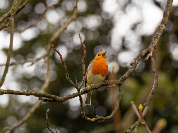 Music For Nature in a babbling brook, a crashing wave, or a songbird in the backyard offer moments of connection through their soothing sounds full of music. Orange white and gray bird singing in tree.