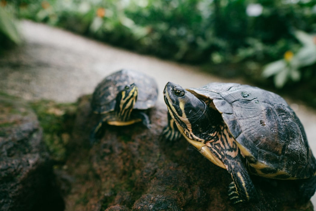 Garden For Wildlife Month - Here are some tips and tricks on how to make your garden support your environment's natural ecosystems. Two turtles standing on a rock.