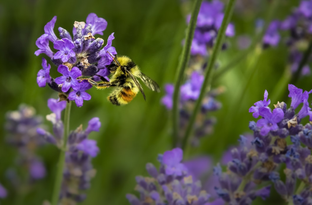 Bees are one of the most important creatures on the planet. Not only do they make delicious honey, but these hardworking pollinators are responsible for pollinating a third of what we eat. Bees pollinating purple flowers.